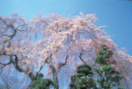 薬師院の太閤桜