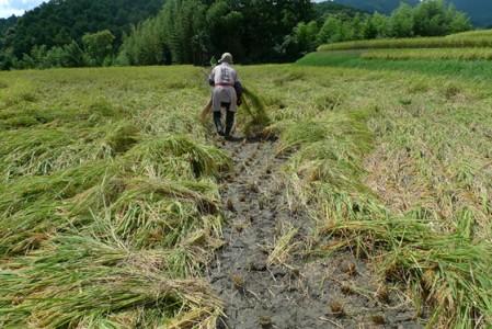 昨晩の雨で稲穂が倒れてしまい、手で刈るのも大変。